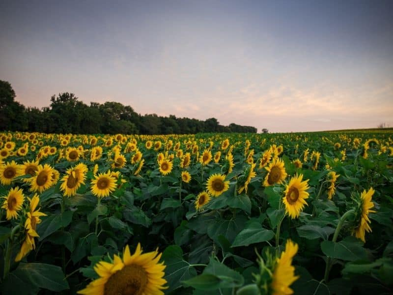 Sunflower field in California at sunrise, as they face towards the sun