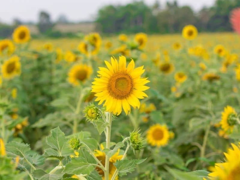 Close up focus on one single yellow sunflower with other yellow sunflowers in blurry focus behind it