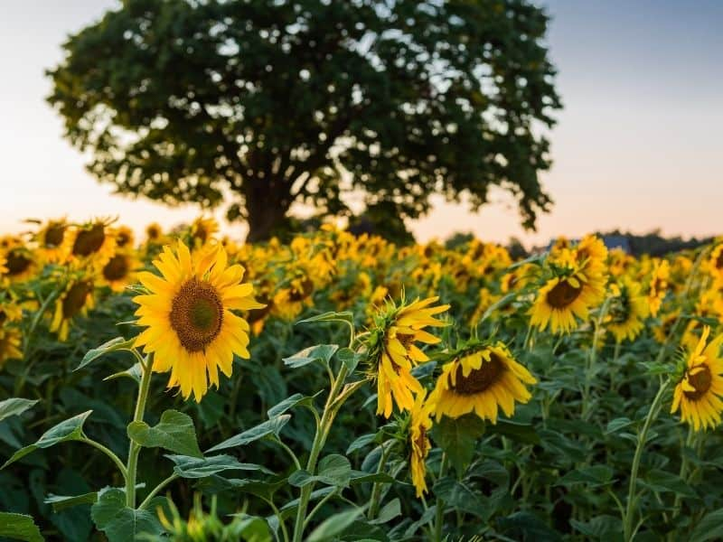 Sunflower fields at dusk or dawn with an oak tree behind it