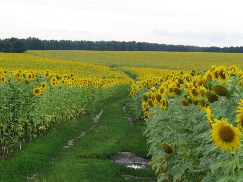 Sunflowers blooming in a field in California on an overcast day