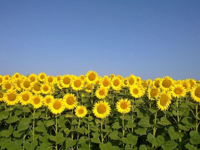 A perfectly symmetrical row of sunflowers with a blue sky