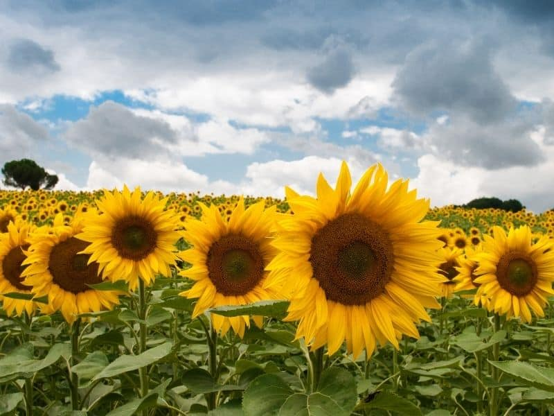 Close up of sunflowers in a field with a cloudy sky behind them