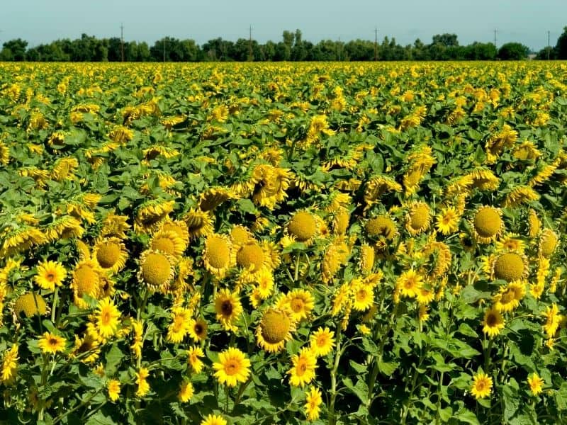 A field of fully blooming yellow sunflowers in California in the summer