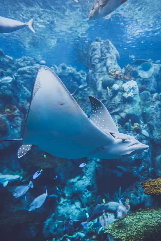 a manta ray swimming at the aquarium of the pacific in long beach