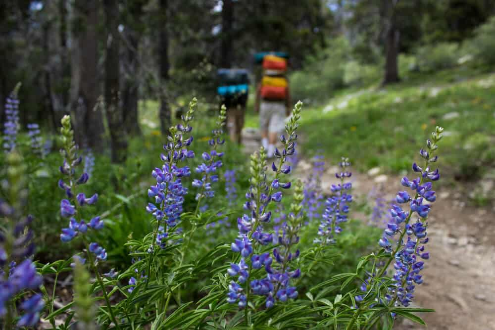 Purple lupine flowers in focus with two hikers in the distance wtih colorful backpacks.