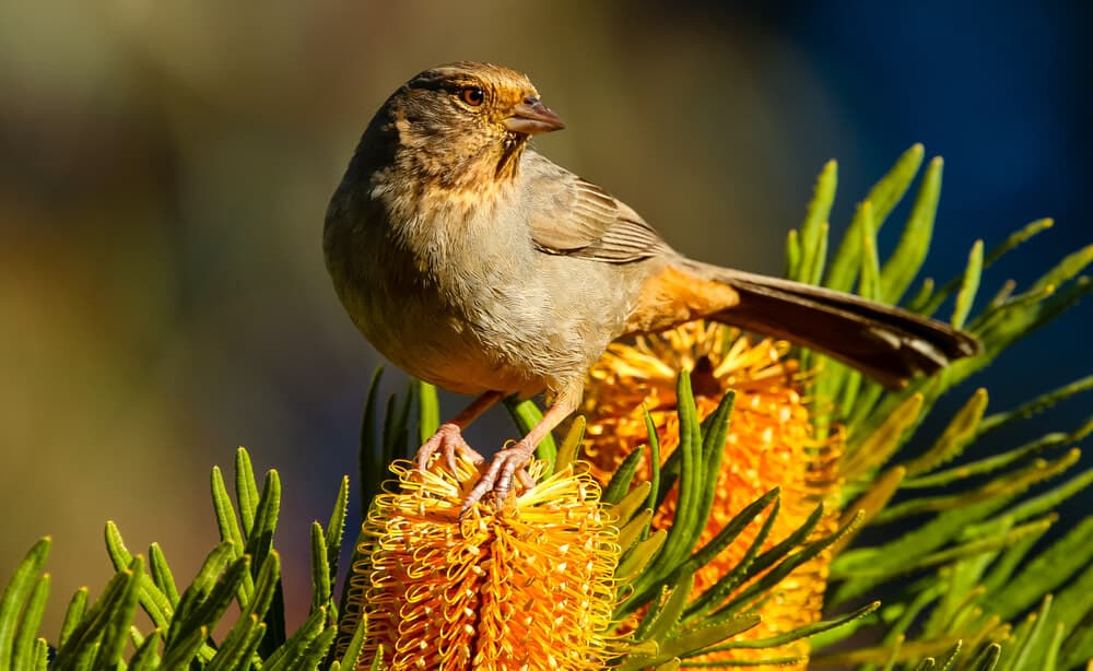 brown and orange bird perched on an orange flower with pine needles