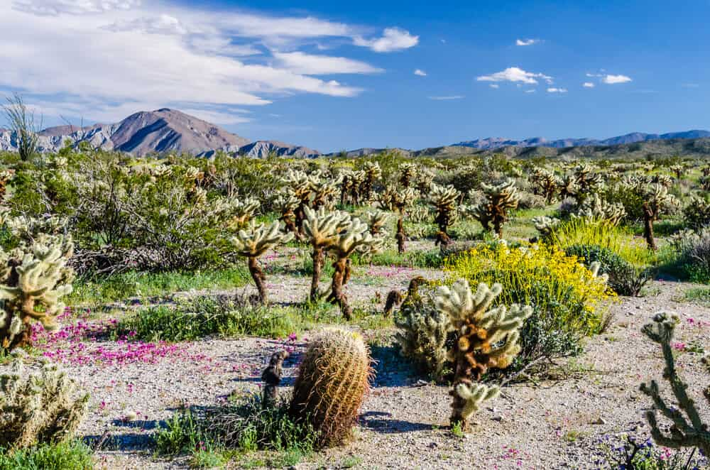 Brilliantly colored cacti flowers and wildflowers in the Anza Borrego desert landscape on a sunny spring day