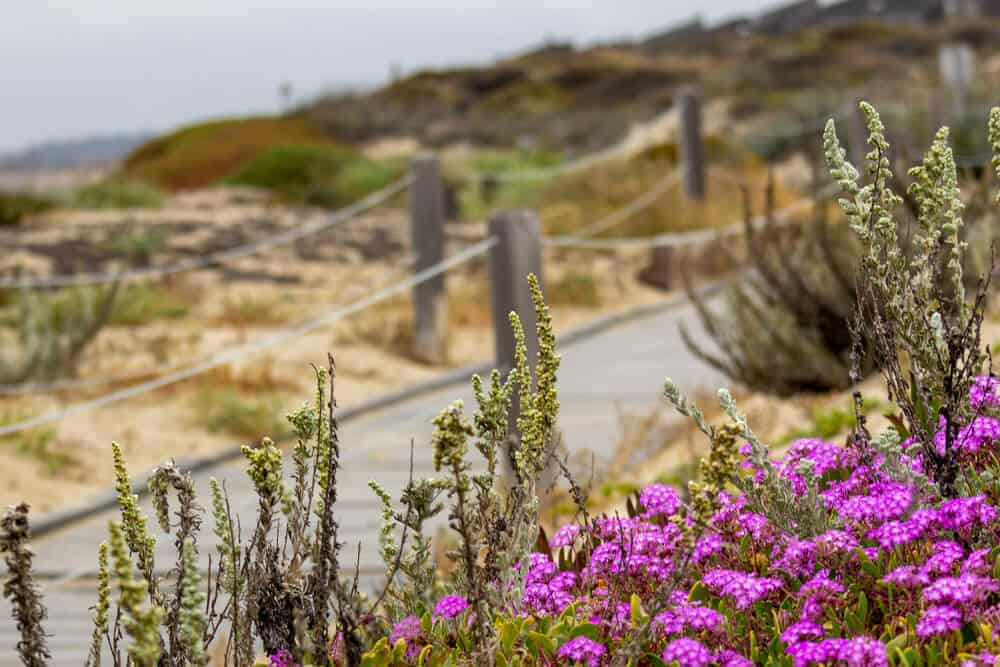 Pink flowers on a coastal trail near Monterey on an overcast day.