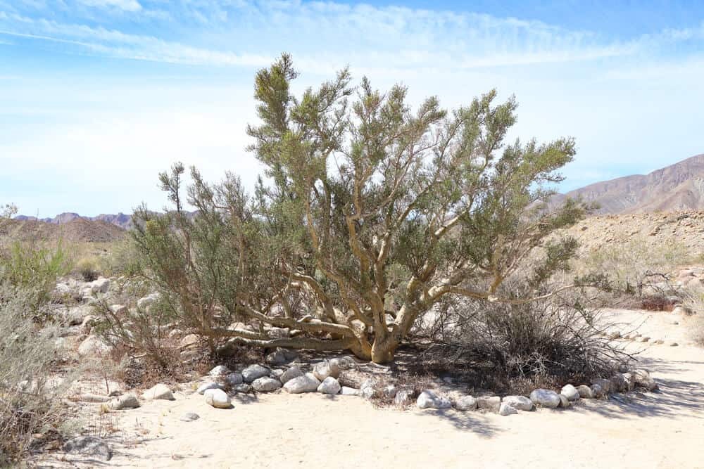 A rare elephant tree found in Anza Borrego State Park