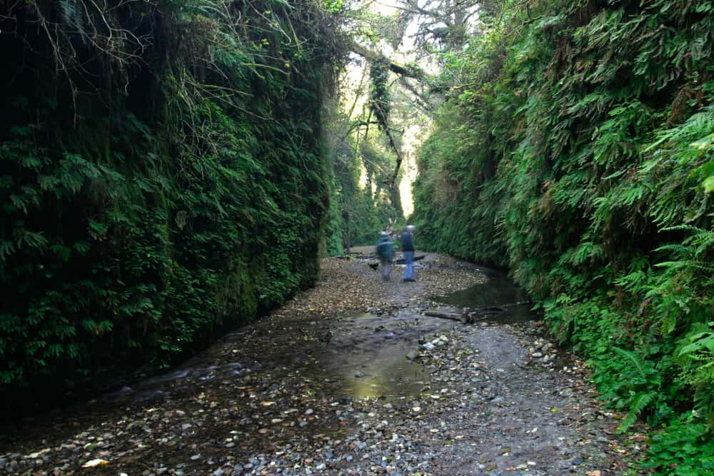 the lush landscape of fern canyon in prairie creek redwoods state park