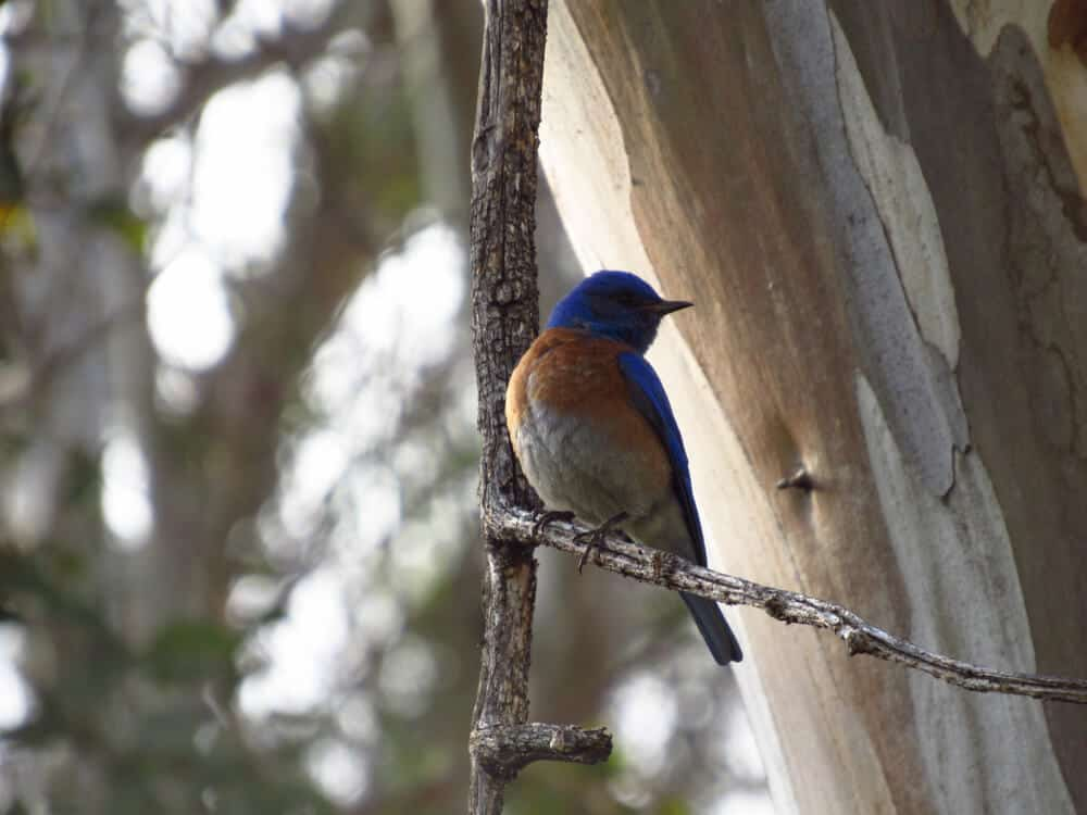 Bird with blue head, orange and white chest, sitting on a branch in Guajome Park