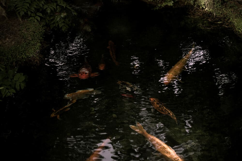 koi fish in a dark shadowy pond at the meditation gardens in encinitas