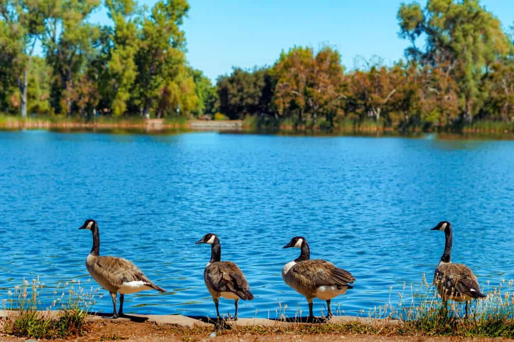 Four geese standing in front of blue water at Lodi Lak -- kayaking there is a fun thing to do in Lodi