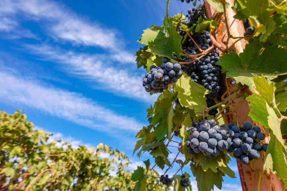 Purplish red wine grapes on a vine in a popular vineyard in Lodi California - wine tasting is a must do in Lodi