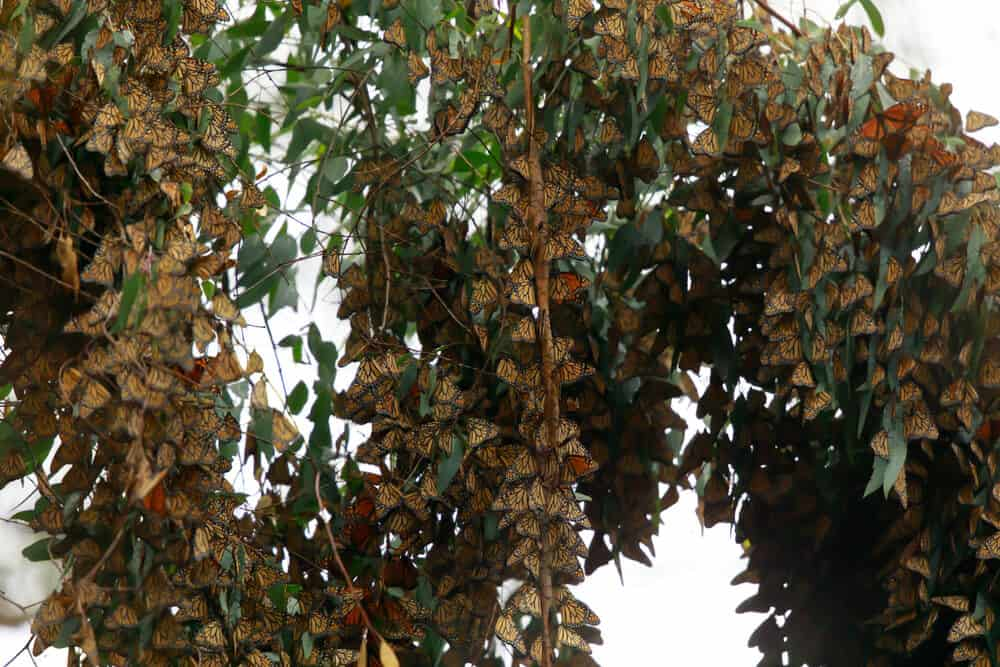 Clusters of orange monarch butterflies on a green eucalyptus tree staying warm for winter