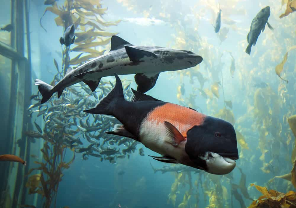 A shark with some spots and a large black fish with coral coloring, and other fish, in the kelp forest tank in Monterey Bay Aquarium.
