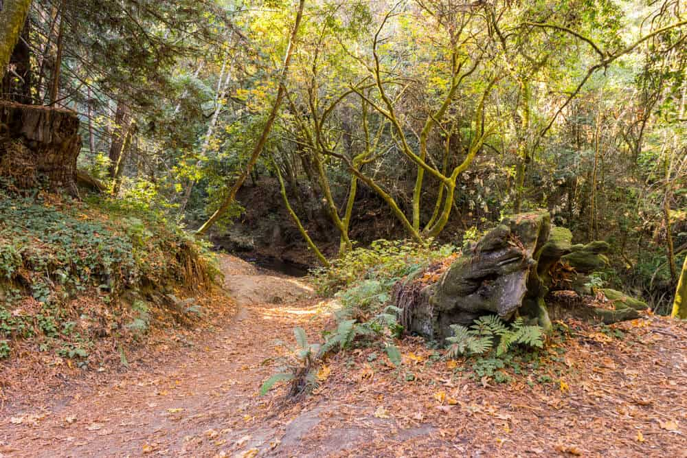 reddish brown leaves on the floor next to ferns, tree trunks, and moss-covered trees in nisene marks state park