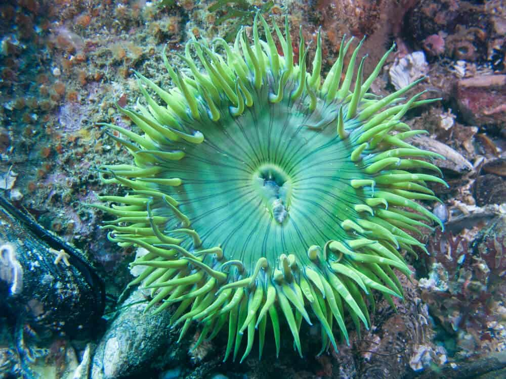 brilliant green sea anemone visible under the water scuba diving in santa cruz, a popular thing to do in santa cruz