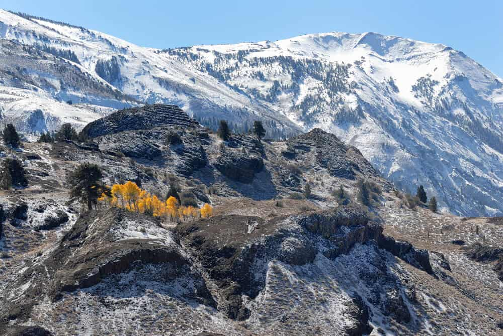 Autumn colored aspens in Sonora Pass with snow-covered peaks in the background