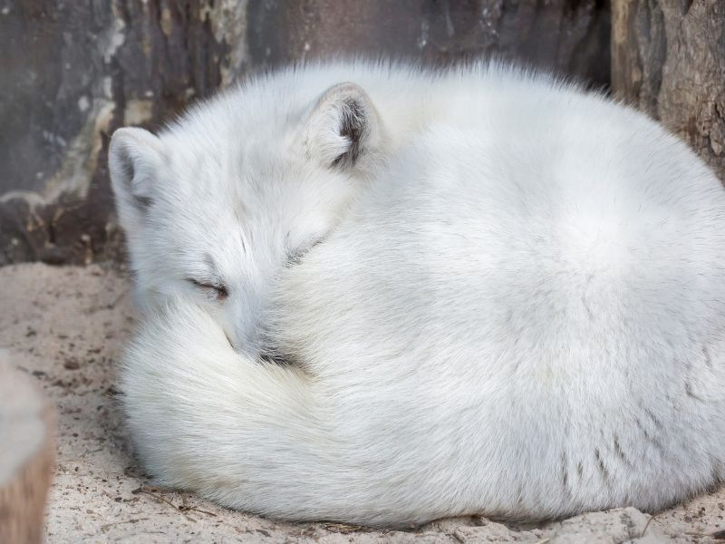 White arctic fox curled up and sleeping