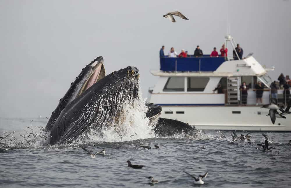 A humpback whale lunge feeds in front of a boat full of whale watchers in Monterey Bay, California.