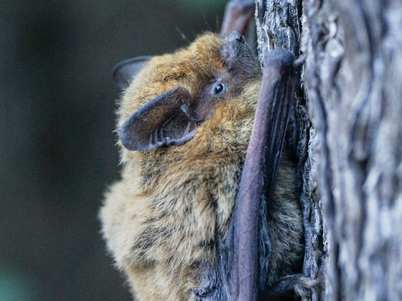 a little brown bat clinging to a tree