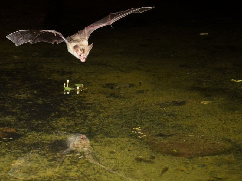 a pale tan-white bat hovering over a stream with a reflection