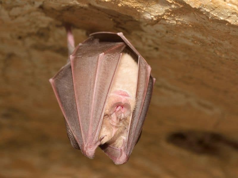 a small brown bat hanging from the ceiling of a cave