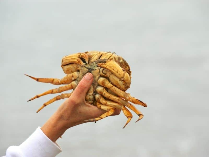 a freshly caught dungeness crab in a woman's hand while crabbing in crescent city, a popular activity