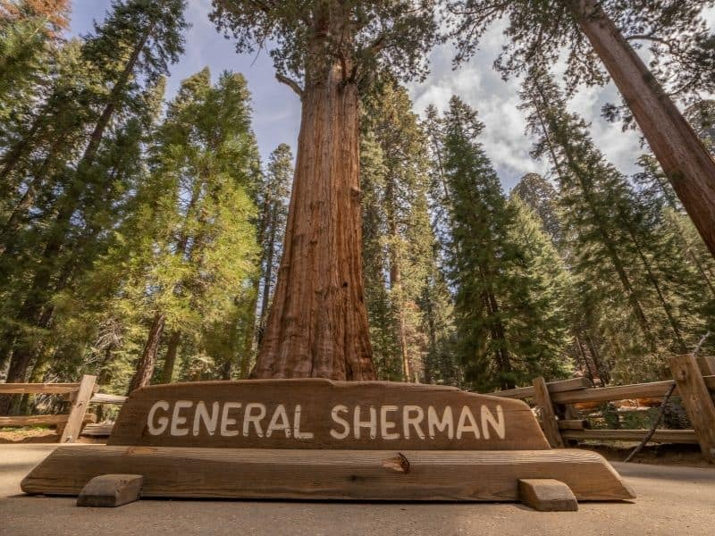 the massive general sherman redwood tree with a sign reading its name and looking up