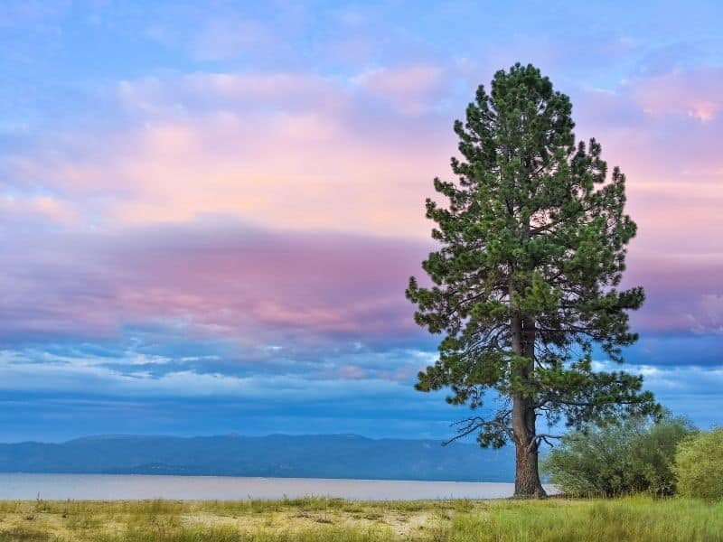 sunset by the grassy/sandy lake shore of pope beach with a large tree in front of the beach in lake tahoe