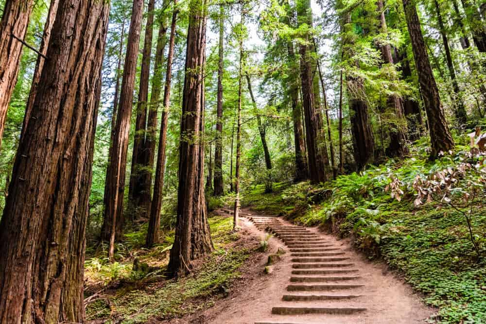 muir woods trail leading up some stairs on a path amongst the redwoods