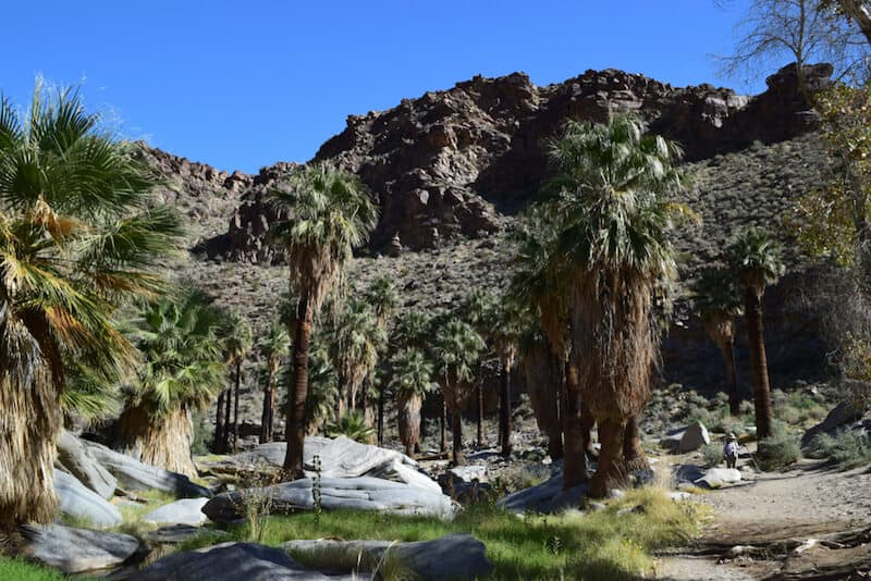 Palm trees in Palm Canyon on the trail hiking in Palm Springs