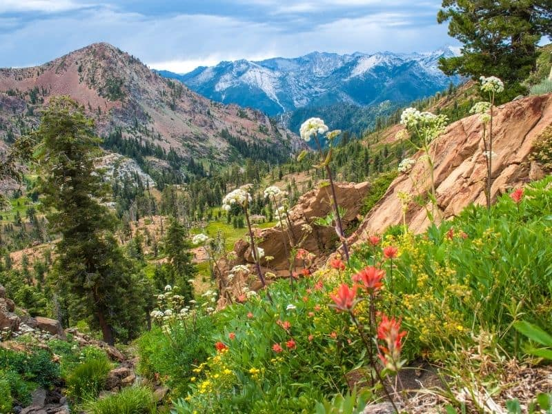 photo of wildflowers in the trinity alps wilderness area