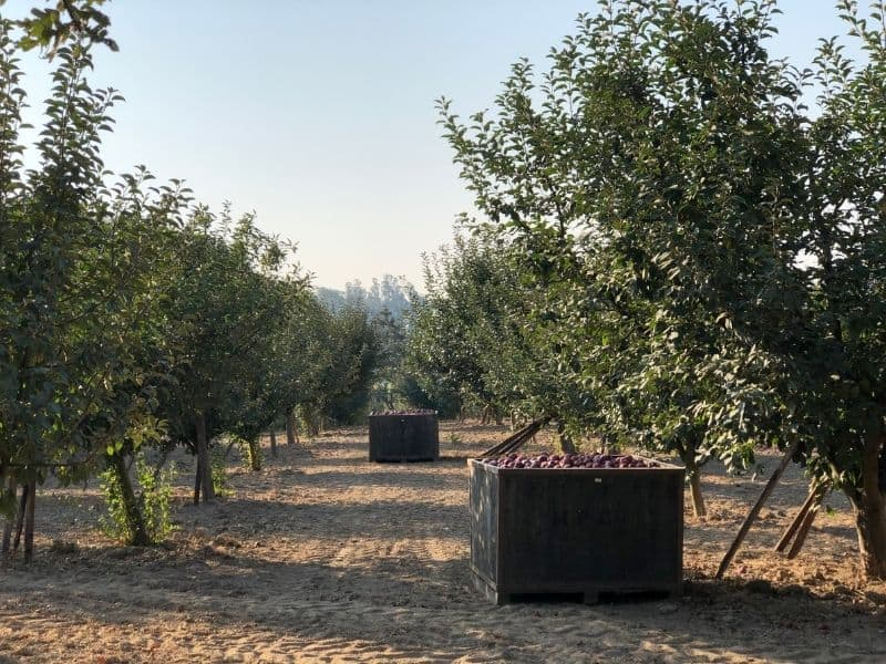 a big box full of apples at an apple orchard in apple hill california