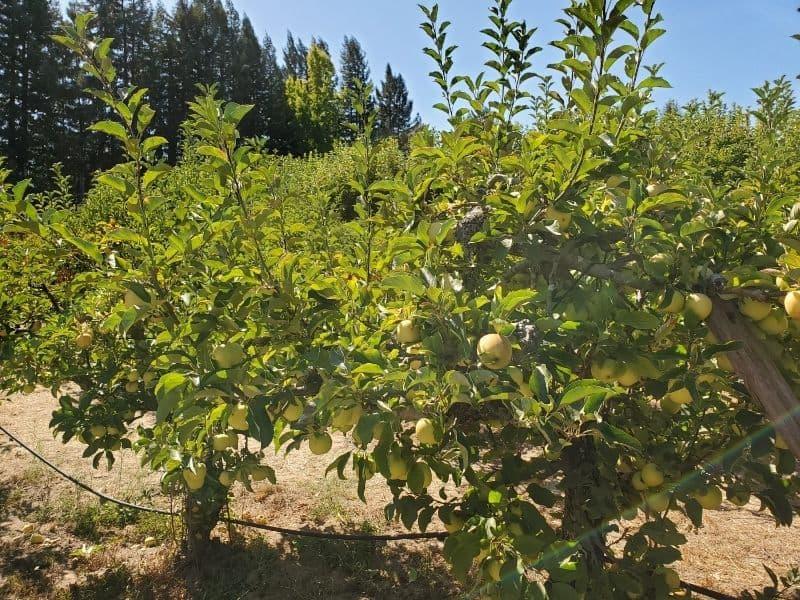 an apple tree at the u pick farm in apple hill