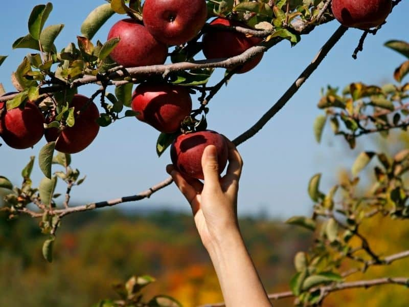 hand reaching up to grab an apple off a tree
