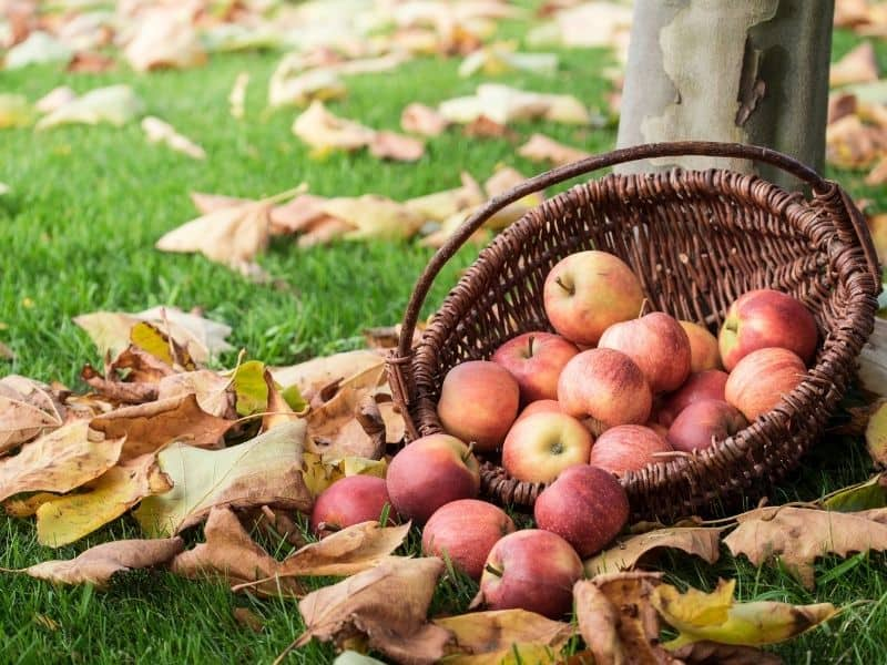 basket of apples on the ground next to fall leaves