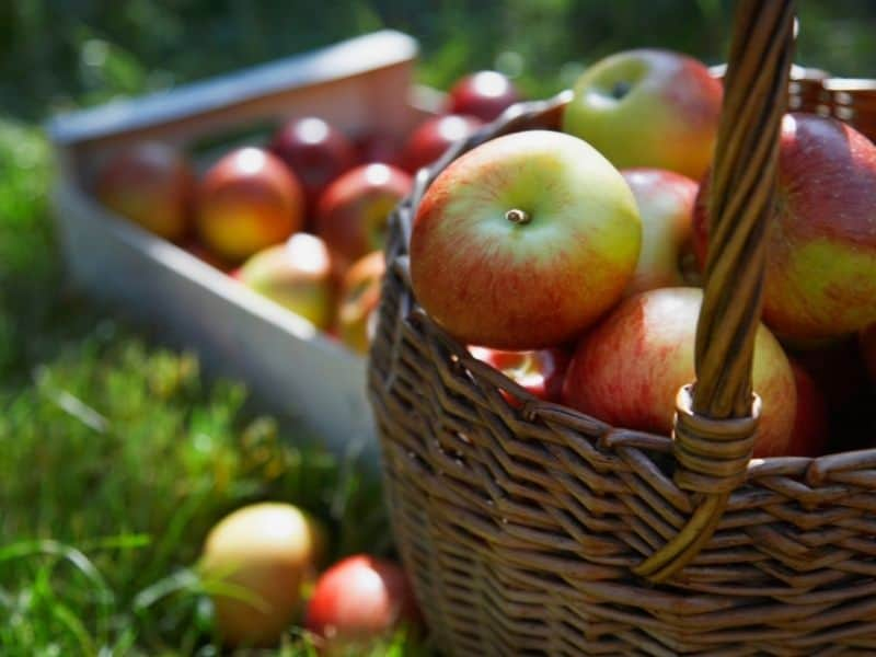 a basket full of apples at a u pick apple farm in northern California in fall