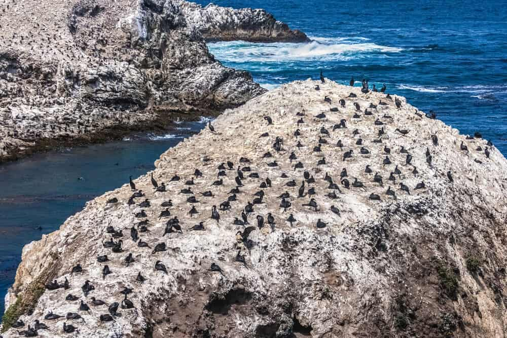 the famous bird island in point lobos in big sure. lots of birds on a rock