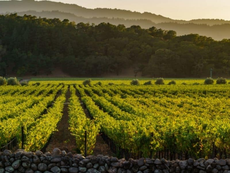 a vineyard with a stone half-wall next to hills with beautiful fading afternoon light while visiting napa california