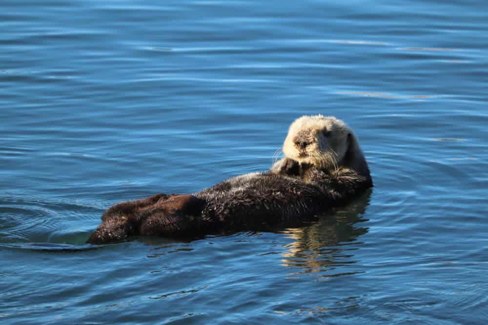 an otter laying on his back in morro bay waters