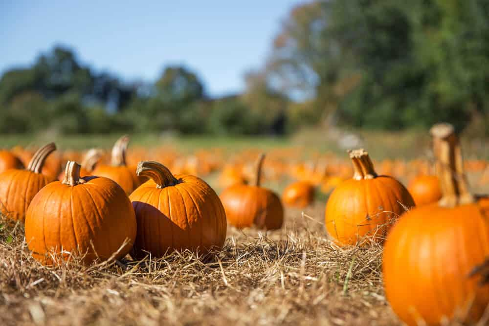 orange pumpkins for sale in the fall
