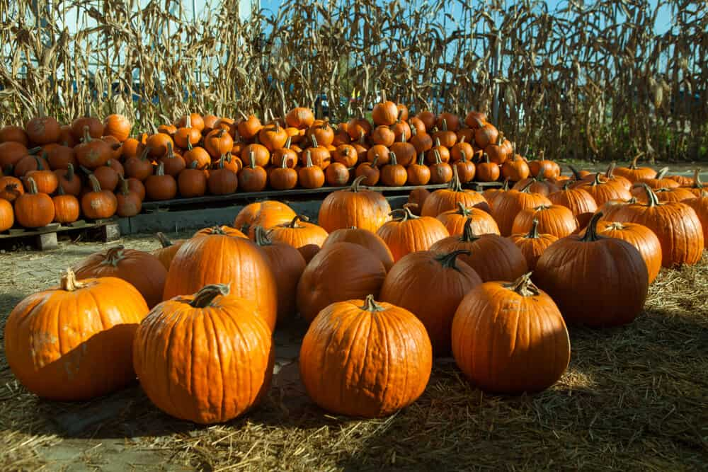 pumpkins for sale in fall at a pumpkin patch