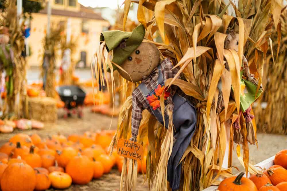 a pumpkin patch with a scarecrow doll