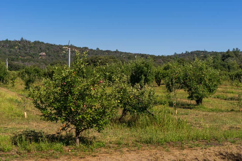 Apple trees in Southern California on a clear sunny fall day