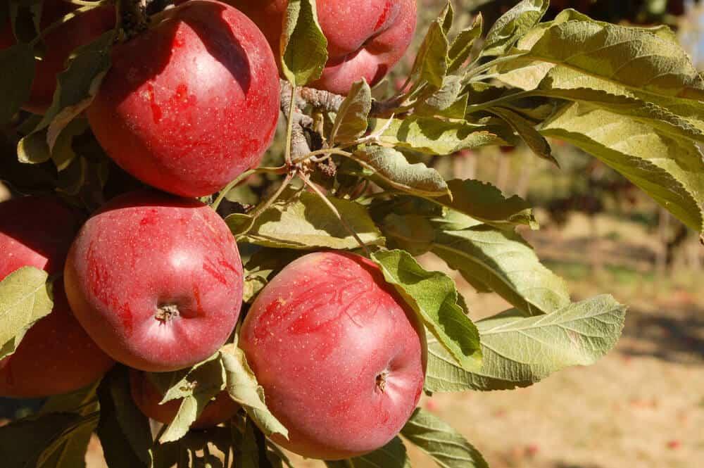 close up of a u pick apple farm in southern california