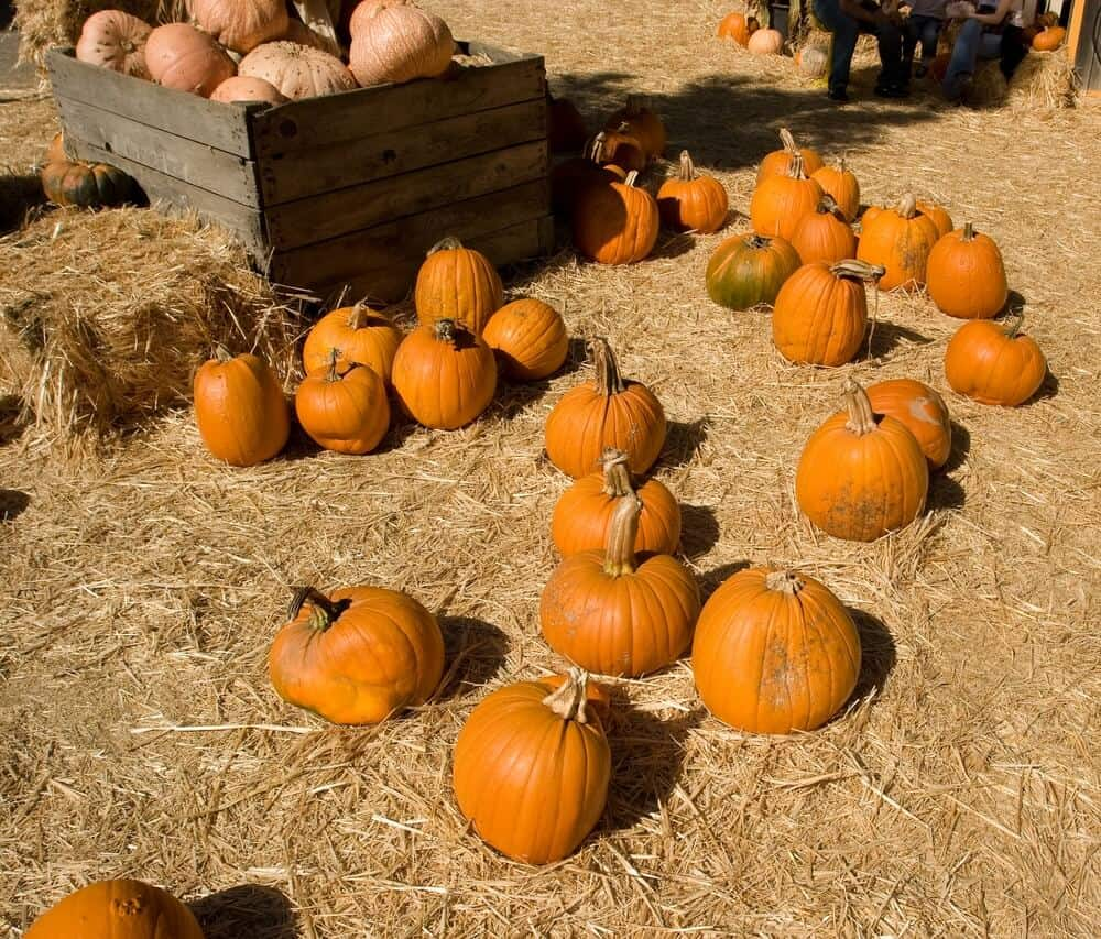 a selection of pumpkins on the ground at a pumpkin patch