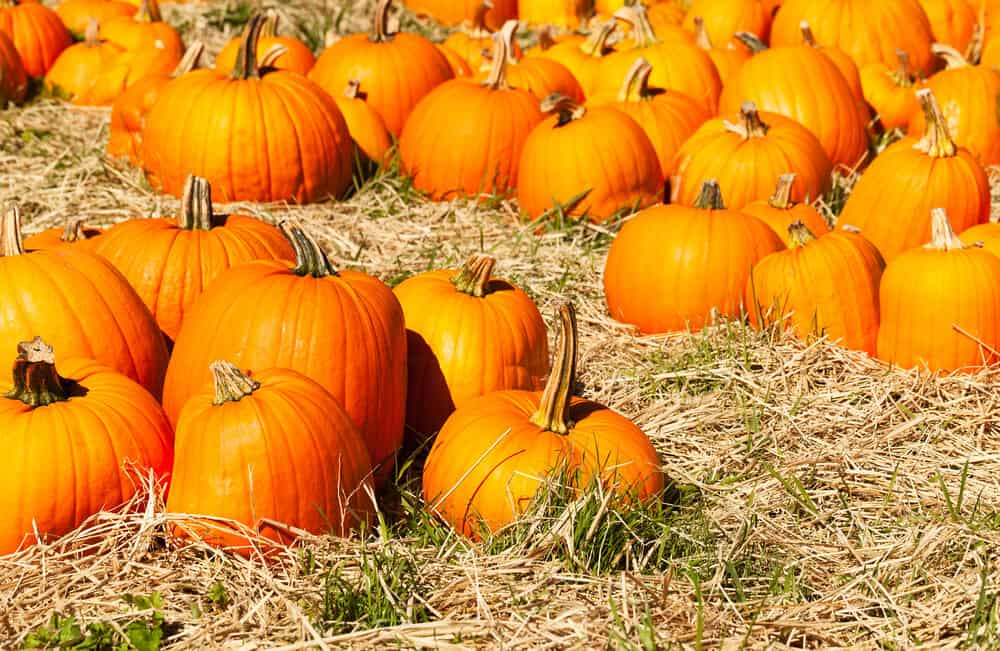 colorful orange pumpkins on the ground at a pumpkin patch