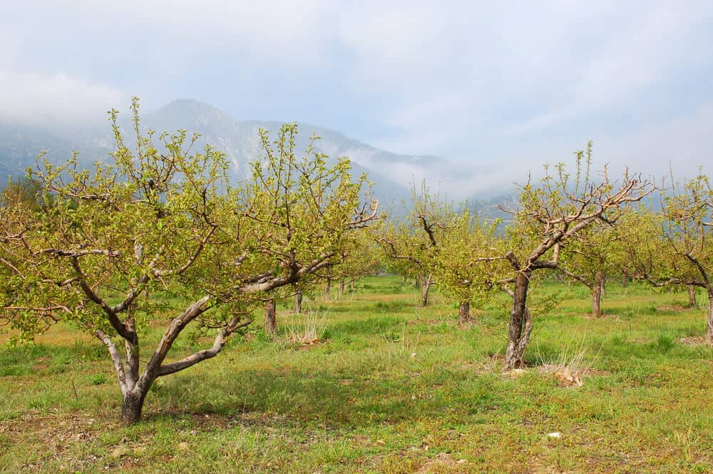 apples in the spring time